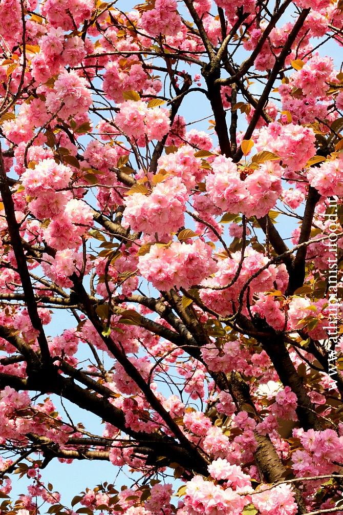 sprng-blossom